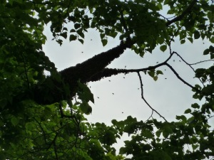swarm of bees in tree (close up)